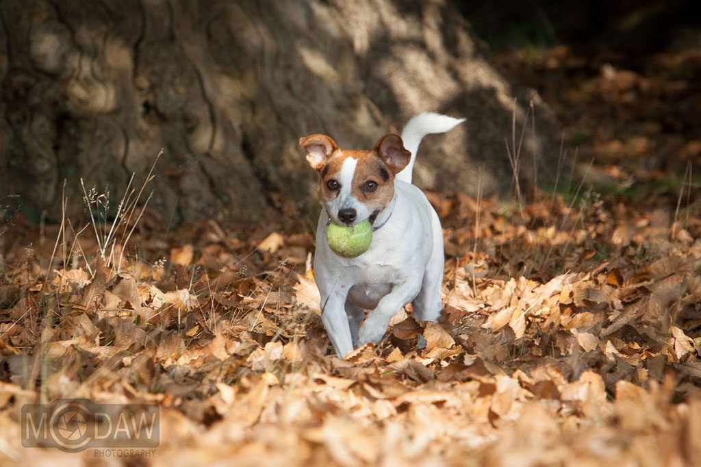 Pet photoshoot with dog and ball taken in Knole Park Sevenoaks